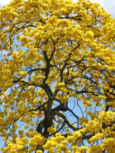 Hoa chuông vàng nở rất sai