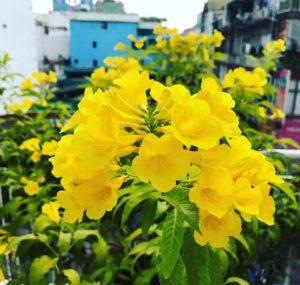 Hoa chuông vàng giúp cho không gian đầy sự tươi mới và lọc khí rất tốt