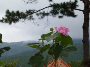 Cây hoa phù dung – nàng tiên nữ mỏng manh