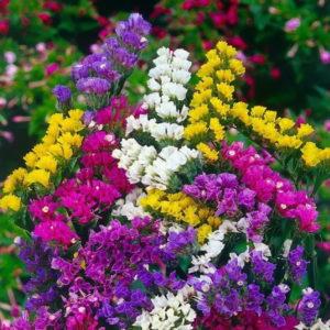 Vườn hoa Salem rực rỡ