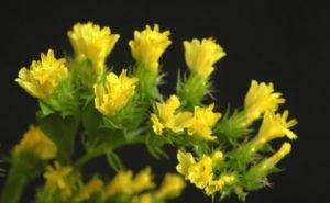 Hoa Salem Vàng