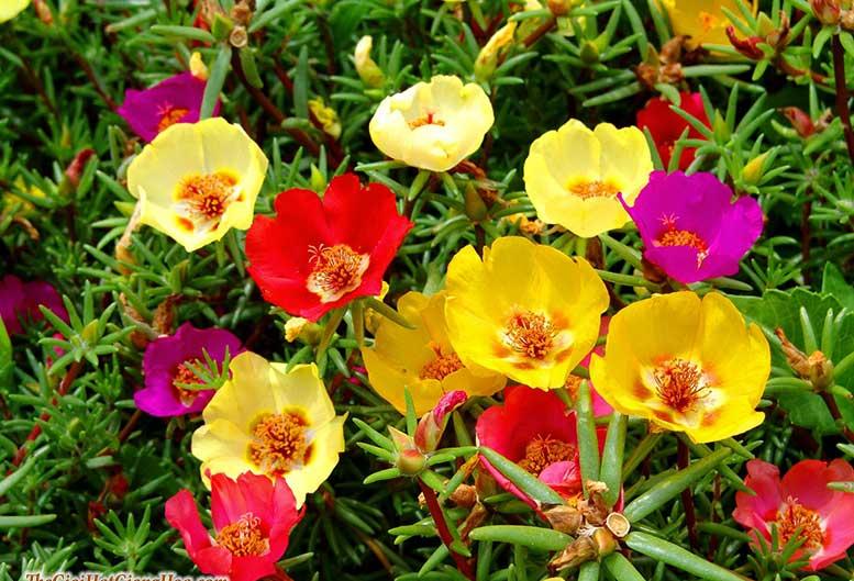 Hoa sam mười giờ có nhiều màu sắc