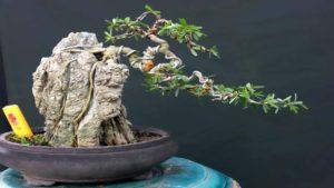 Sam núi có thân gồ ghề và dáng rất phù hợp để tạo hình bonsai nghệ thuật