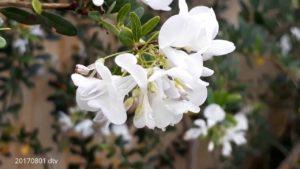 Linh sam hoa trắng