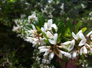 hoa linh sam trắng rất bắt mắt