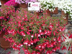 Cây hoa đèn lồng (hồng hoa đăng ) trang trí cảnh quan rất đẹp