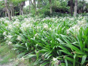 Hoa bạch trinh biển trồng viền