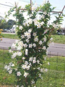 Cây hoa Tuyết Anh