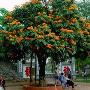 Cây vô ưu còn được gọi là cây vàng anh lá nhỏ