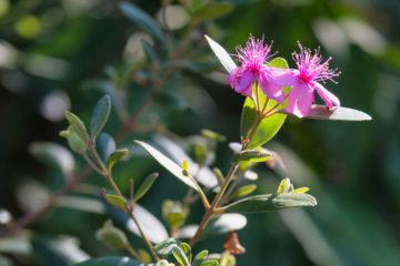 Cây hoa sim – màu tím của núi rừng