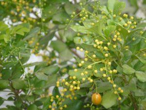 Hoa và quả cây ngâu