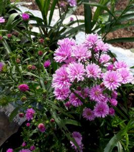 Hoa Thạch Thảo còn gọi là Cúc cánh mối