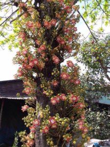 cây và hoa Ngọc Kỳ Lân
