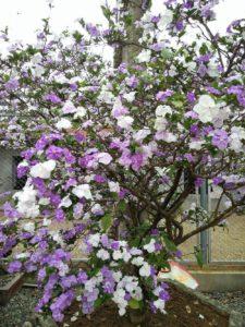 Hoa nhài Nhật còn được gọi là hoa hai màu