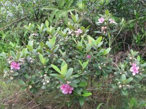 Cây hoa sim rừng
