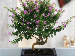 Cây cẩm tú mai bonsai
