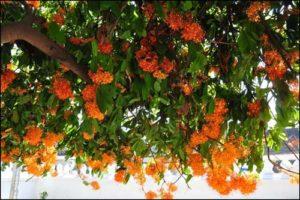 Cây hoa vô ưu