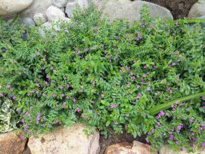 Cây Cẩm tú mai dùng trong trang trí, trồng viền, thảm... rất hợp