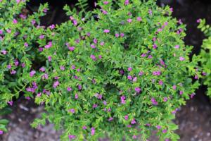 Cây hoa cẩm tú mai