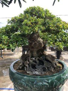 Cây hoa ngâu bonsai