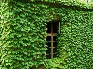 Dây nguyệt quế phủ xanh ngôi nhà