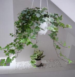 Chậu cây thường xuân treo trong nhà