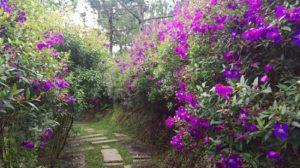 Con đường hoa sim rất tuyệt vời và lãng mạn