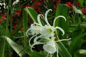 Hoa bạch trinh biển trắng tinh khôi