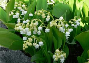 Cây hoa lan chuông còn được gọi là hoa linh lan