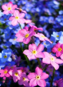 Hoa lưu ly nhiều màu sắc