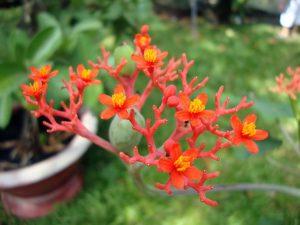 Hoa và quả cây sen lục bình