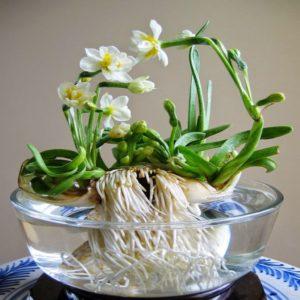 Hoa thủy tiên tỉa củ tạo dáng rất đẹp