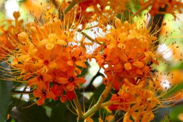 Cây hoa vô ưu – Sự lạc quan thoát tục