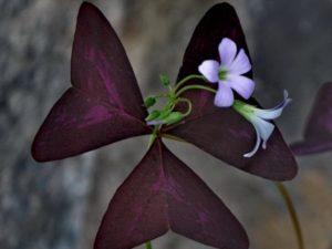 Màu tím đậm của cánh hoa chính là biểu tượng của sự chung thủy