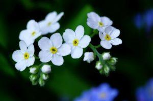 Hoa lưu ly chủ yếu trồng trang trí và nghệ thuật cắm hoa