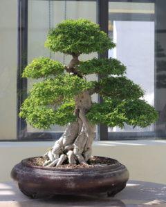 Chậu mai chấn thủy bonsai