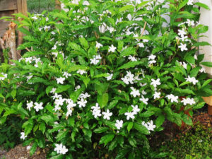 Cây hoa ngọc bút (nhài tây)