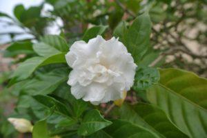 Hoa ngọc bút cánh kép