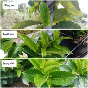 Phân biệt 3 loài cây theo hình thái, màu sắc lá