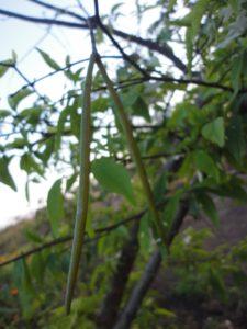Quả cây mai chiếu thổ
