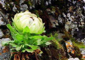Cây hoa tuyết liên (Sen Tuyết)