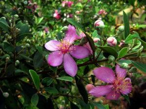 Hoa sim rừng
