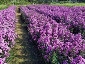 Khu Vườn hoa Thạch Thảo