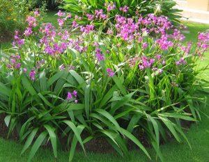 Chu đinh lan thường được trồng trang trí rất bắt mắt