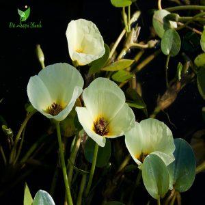 Hoa thủy quỳnh đẹp hoang sơ