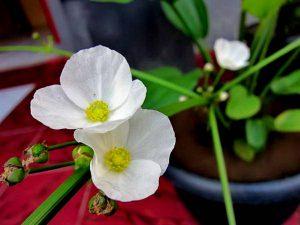 Cây hoa bách thủy tiên