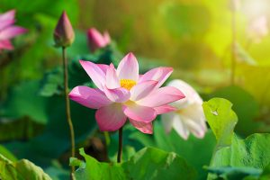 Hoa sen nở trong nắng sớm