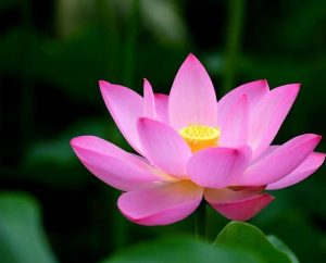 Hoa sen hồng