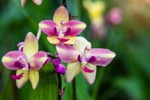 Hoa chu đinh lan có nhiều màu, nhiều giống cây khác nhau