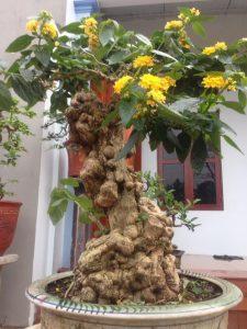 Cây bông ổi bonsai